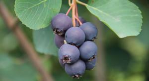 Amela - nowa odmiana świdośliwy dostępna dla szkółkarzy i plantatorów