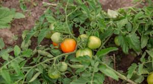 Zielony Ład wpłynie na produkcję pomidorów do przemysłu w Polsce?