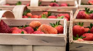 Handel łubiankami - widmo wysokich cen przed zbiorami truskawek