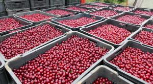 Polska wśród liderów produkcji wiśni na świecie