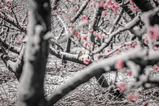 Włochy: Śnieg i przymrozki nawiedziły kwitnące sady