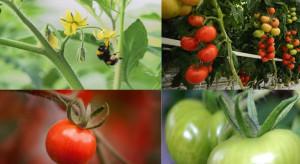 Trzmiele do zapylania upraw pomidora pod osłonami