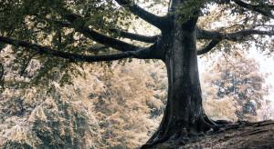 W Polsce co ósme drzewo ma sto lat