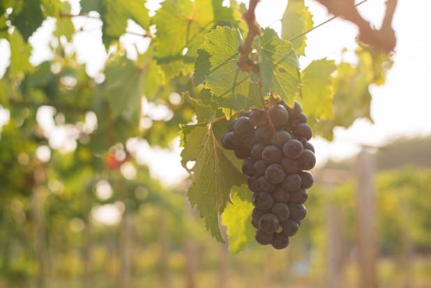 Tarnów: W Parku Sanguszków powstanie miejska winnica