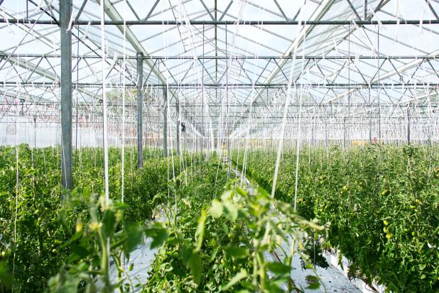 Nowy rodzaj paneli słonecznych zrewolucjonizuje uprawy szklarniowe?