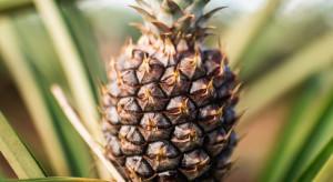 Japonia ratuje tajwańskie ananasy w akcie wdzięczności