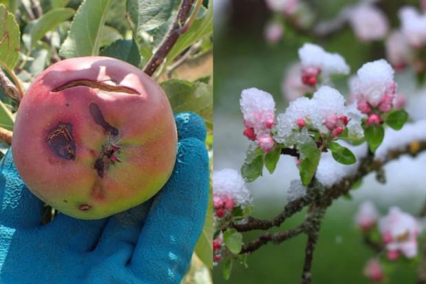 PZU: jakie terminy ubezpieczania upraw od przymrozków i gradu?