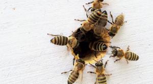 """Wielka Brytania: powstają """"autostrady"""" dla owadów zapylających"""