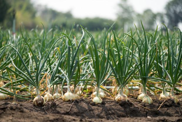 Na rynku pojawiły się fałszywe nasiona cebuli Centro