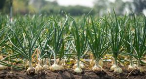 Uwaga na fałszywe nasiona cebuli Centro