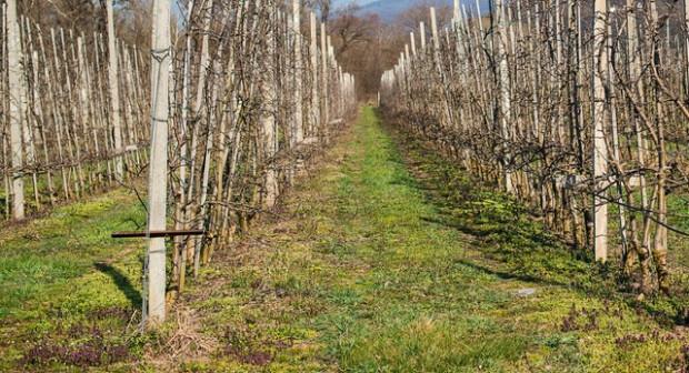 Młode sady niszczone przez zające - będą odszkodowania?