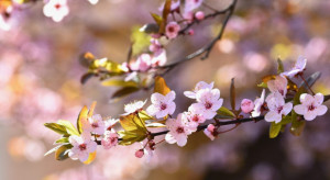 Japonia: Sezon kwitnących wiśni rozpoczął się najwcześniej w historii
