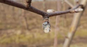 Kiedy rozpocząć zwalczanie kwieciaka jabłkowca?