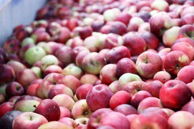 Mazowieckie: Ceny jabłek przemysłowych spadną jeszcze bardziej?