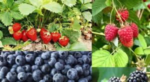 Nowe rozwiązanie w zwalczaniu D.suzukii w uprawie jagodowych