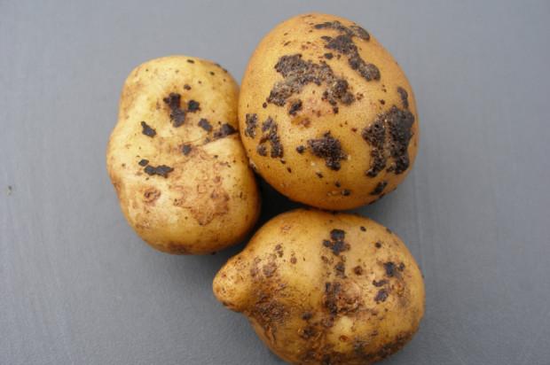 Dlaczego warto zaprawiać bulwy ziemniaka?