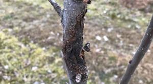 Rak drzew owocowych - zabiegi wczesną wiosną