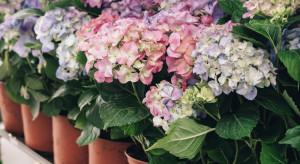 Rynek Bronisze: hortensje najchętniej kupowane na Wielkanoc