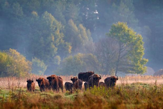 Podlaskie: rolnicy mogą wydzierżawić grunty na potrzeby żubrów