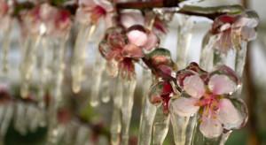Hiszpania: Silne mrozy dotknęły kwitnące drzewa owocowe
