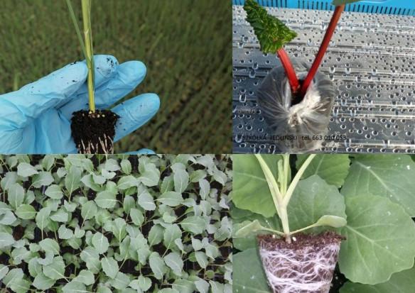 Szukasz rozsady warzyw? Sprawdź oferty na GieldaRolna.pl