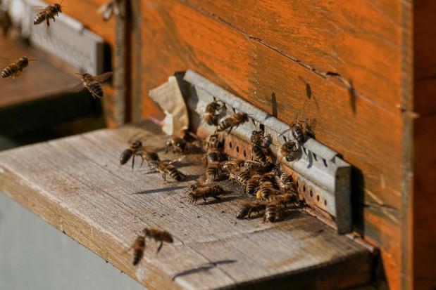 Pomorskie: kilkadziesiąt tysięcy pszczół zginęło po zalaniu olejem napędowym