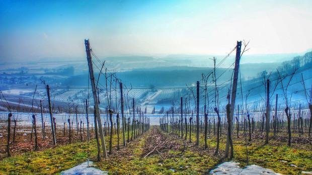 Mrozy dotknęły uprawy winorośli we Francji