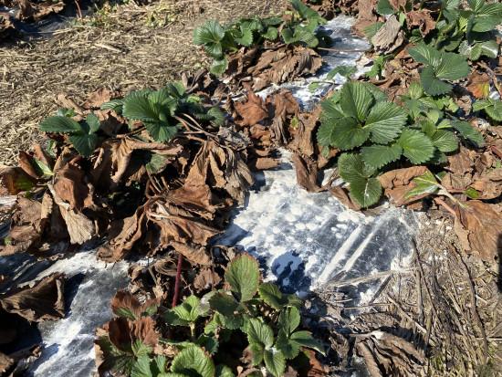 Można jeszcze stosować nawozy wapniowe na plantacjach truskawki?