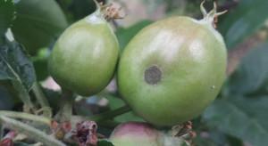 Jaka odporność sprawcy parcha jabłoni na fungicydy w tureckich sadach?