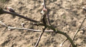 Ochrona przeciwko parchowi jabłoni - start sezonu