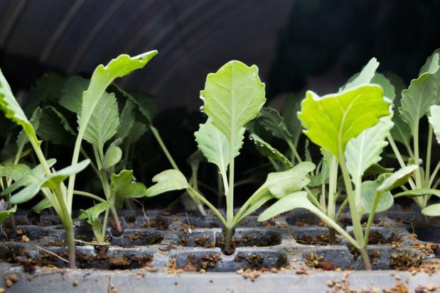 Lidl sprzedaje sadzonki warzyw polskiego producenta