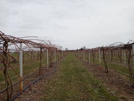 MiniKiwi: Chłodna pogoda hamuje rozwój pąków (zdjęcia)