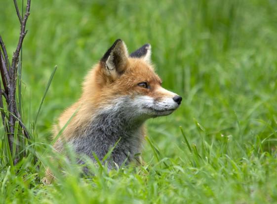 Siódmy przypadek wścieklizny u lisa w województwie mazowieckim
