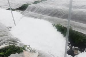 Lubelskie: Przez śnieg ucierpiały rzędy truskawek - relacja producenta (foto)