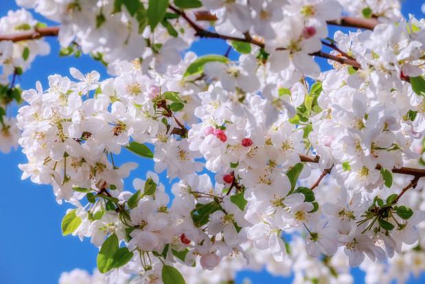 Grójec: Święto Kwitnących Jabłoni 2021 odbędzie się on-line