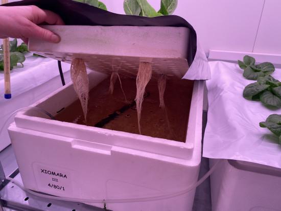 W Instytucie Ogrodnictwa-PIB trwają doświadczenia z akwaponiką