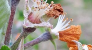 Belgowie twierdzą, że straty mrozowe w kwitnących sadach nie są aż tak mocne