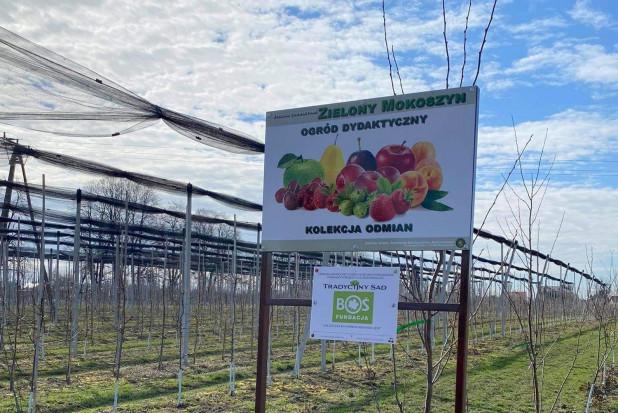 Dawne odmiany jabłoni posadzono w Sandomierzu
