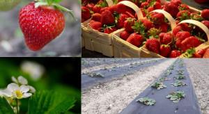 Jak polscy plantatorzy produkują truskawki? (wyniki ankiety)