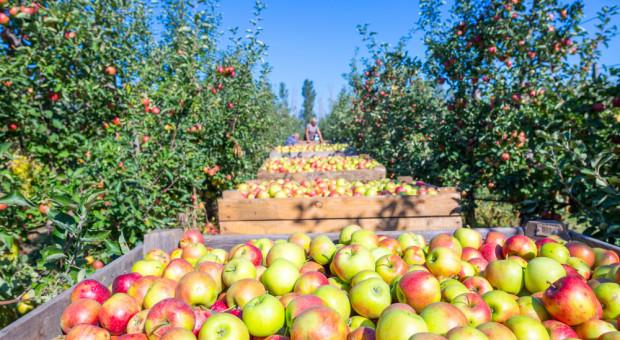"""Holandia: Dalszy rozwój produkcji jabłek w Europie """"do przemyślenia"""""""