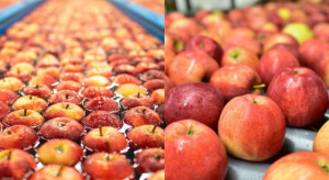 Grupa Galster: do tej pory to bardzo satysfakcjonujący sezon jabłkowy