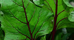 Nowy szkodnik zagrozi uprawom warzyw?