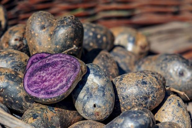 Podlaskie: Porejestrowe doświadczenia z uprawą fioletowych ziemniaków