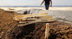 Polscy plantatorzy rozpoczęli zbiór szparagów