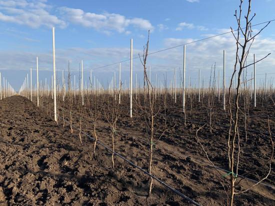 Ukraińska firma zakłada sad gruszkowy na powierzchni 30 ha