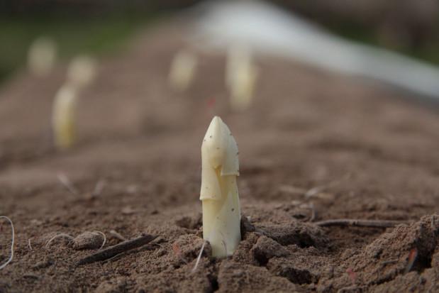 Sezon szparagowy 2021 – chłodna wiosna opóźniła zbiory