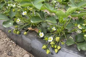 Przymrozki 2021 - jak zabezpieczyć plantacje truskawek? (zdjęcia)