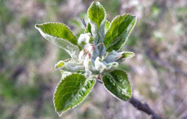 Parch jabłoni – jaka sytuacja w sadach?