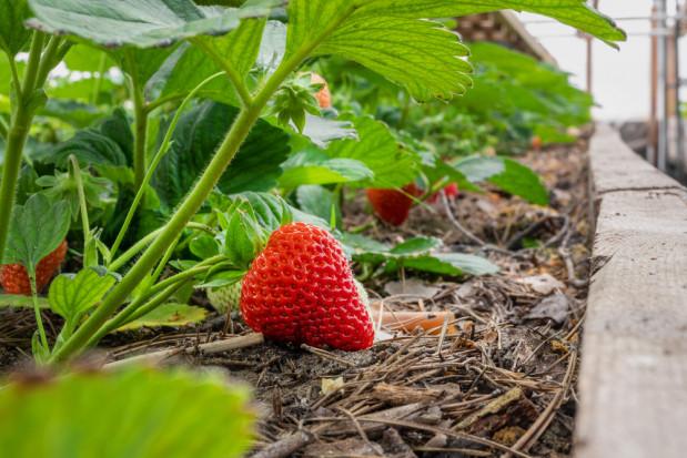 Niemcy rozpoczynają pierwsze zbiory truskawek