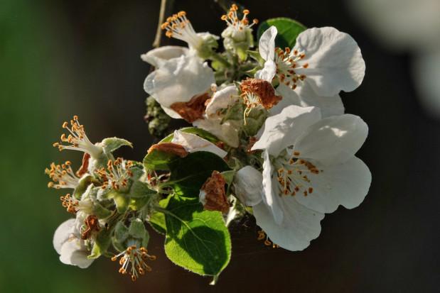 Austria: Uszkodzenia mrozowe moreli, wiśni i jabłek sięgają 35 mln euro